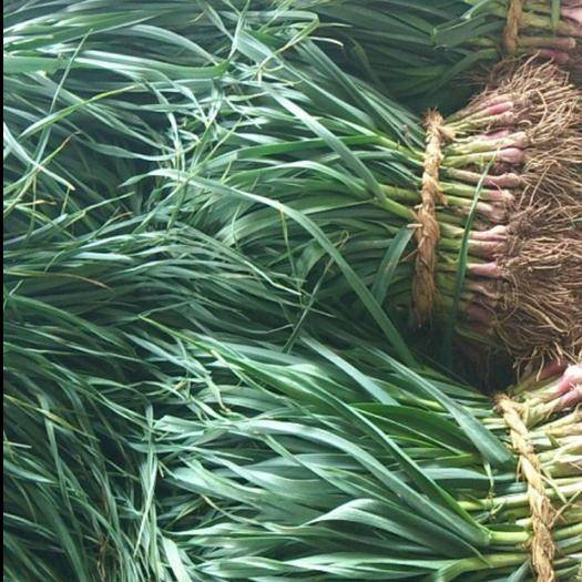 安徽省銅陵市郊區紅根蒜苗 確保大量供應,保證供貨新鮮,當天收割當天供應!