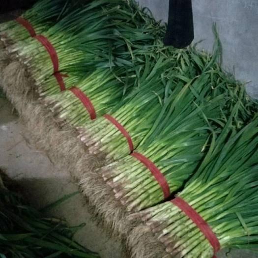 河南省開封市蘭考縣 百畝優質紅根蒜苗走貨中,歡迎新老客戶來電或實地訂購