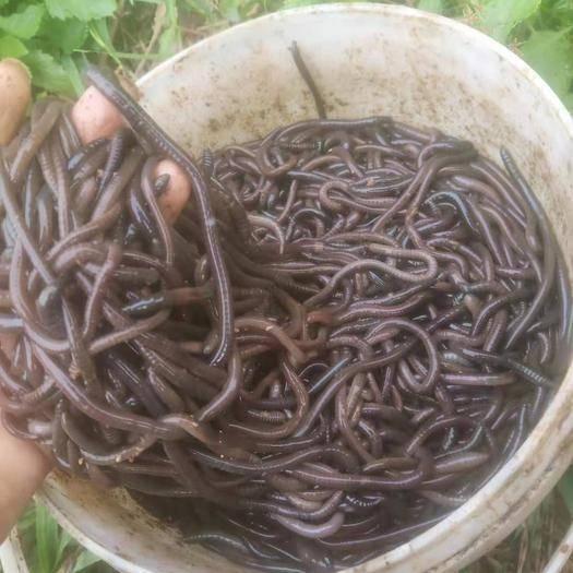 廣西壯族自治區北海市合浦縣青蚯蚓