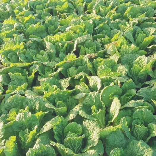 河南省周口市淮陽縣小娃娃菜 自產綠色無公害0.35元一棵
