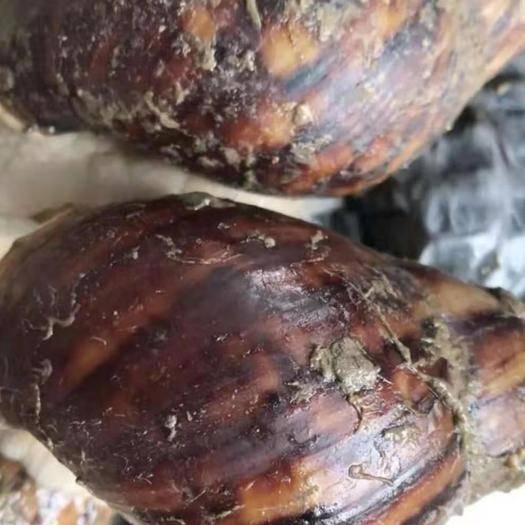 貴州省黔西南布依族苗族自治州冊亨縣 野生白玉蝸牛大量出售