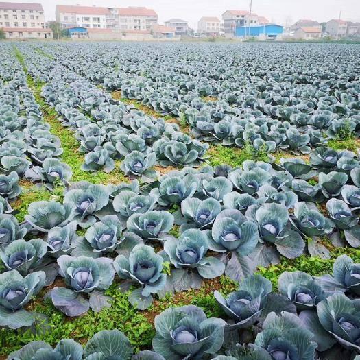 湖北省荊州市石首市紫甘藍 100畝紫甘蘭