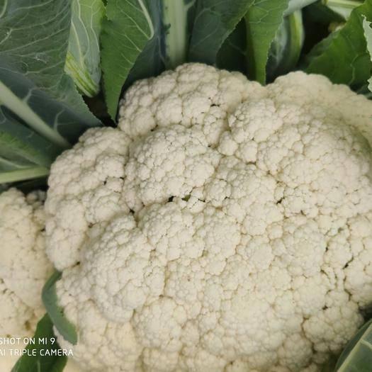 河南省焦作市溫縣白面青梗緊花 有機花菜,菜白,個頭均勻