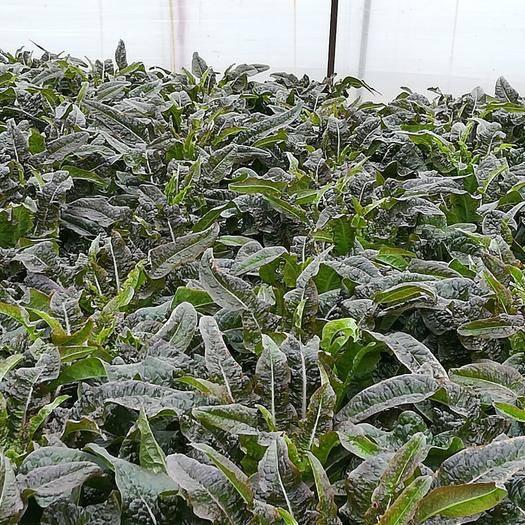江蘇省鹽城市東臺市 無公害農產品,紅葉香萵苣,價格美麗,貨源充足