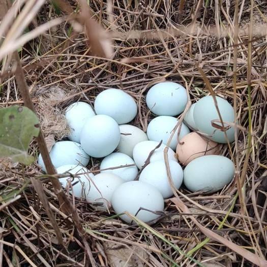 湖南省常德市澧縣綠殼雞蛋 俺家正宗散養五黑雞,生態養殖