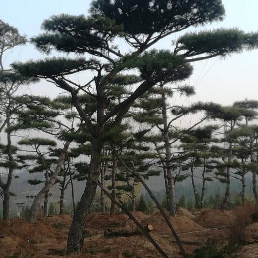 山東省濟南市鋼城區造型松樹 景觀松,油松,銷售景觀松