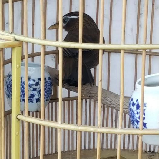 云南省普洱市景東彝族自治縣畫眉鳥 齊毛鳥  與有性  現重67.幾克   綠豆青眼