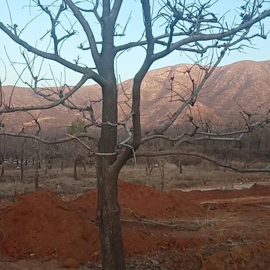 河北省保定市满城区柿子树接穗 树形优美