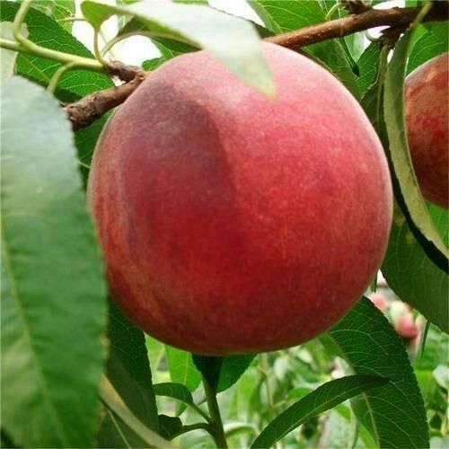 山東省青島市萊西市映霜紅蜜桃 70mm以上 4兩以上