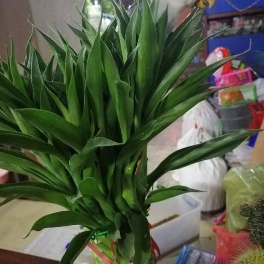 廣東省廣州市黃埔區牡丹鸚鵡 紫閃牡丹
