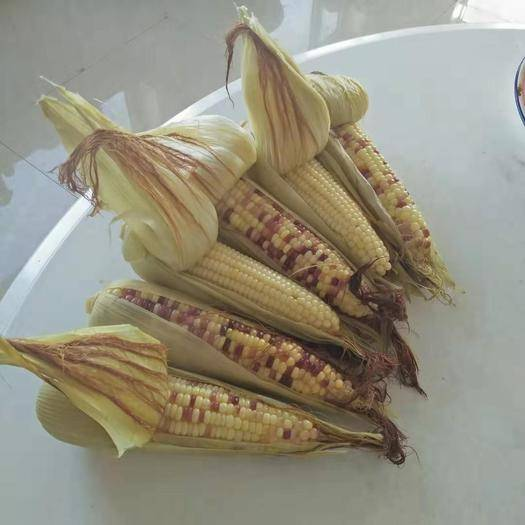 內蒙古自治區呼和浩特市土默特左旗 甜玉米