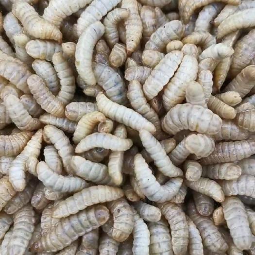 山東省濰坊市安丘市黑水虻 老板你好,你要的蟲是干的還是的鮮的啊