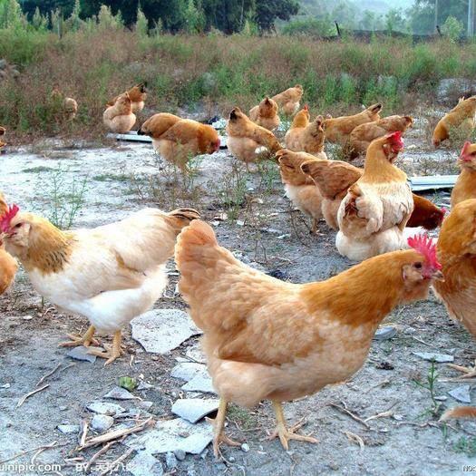 云南省昆明市官渡區 胡須雞苗包打疫苗,包活到家,假一賠十