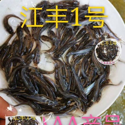 廣東省佛山市南海區斑點叉尾鮰魚  大量出售,斑點叉美蛔魚,有4-5-6公分,50萬起0.15元