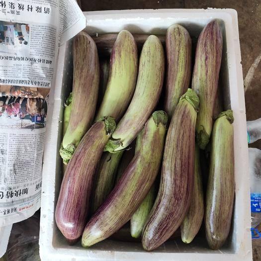 云南省西雙版納傣族自治州景洪市冰川茄 隨時都有貨
