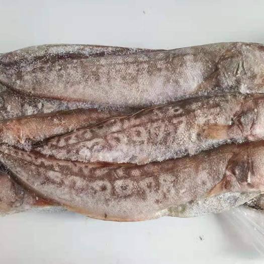 山東省濰坊市安丘市冷凍黃尾魚 鳳尾魚40cm鳳尾魚新鮮下單現逮活魚速凍