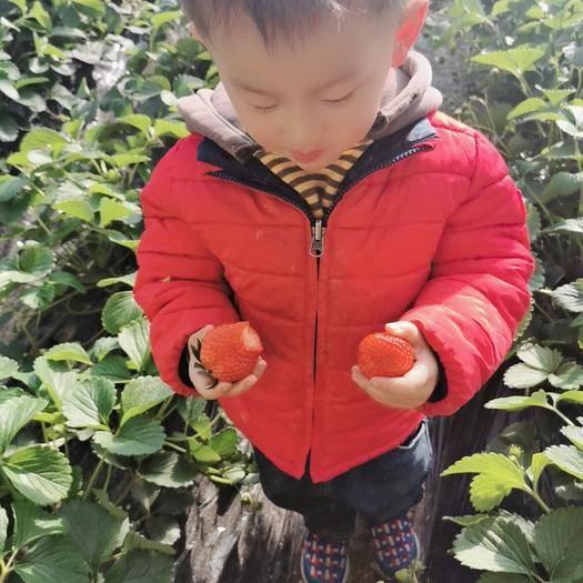 北京市昌平區 天然有機紅顏草莓