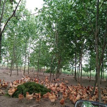 大量优质散养土鸡蛋供应。