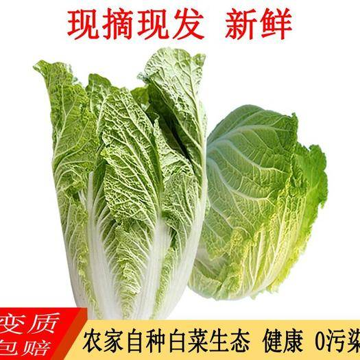 貴州省畢節市七星關區 白菜 青口白 新鮮蔬菜