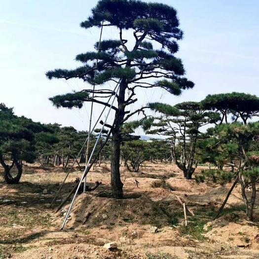 山東省濟南市鋼城區造型松樹 萬畝景觀松基地常年供應景觀松,造型松,造型油松,造型黑松,