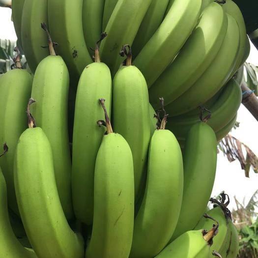 广东省湛江市徐闻县巴西香蕉 七成熟