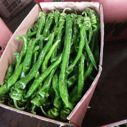 山東省臨沂市費縣 精品螺絲椒,只做精品辣椒。