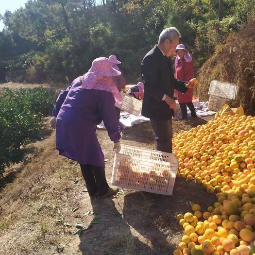 江西省贛州市寧都縣 贛南臍橙次果大量供應需要的跟我聯系