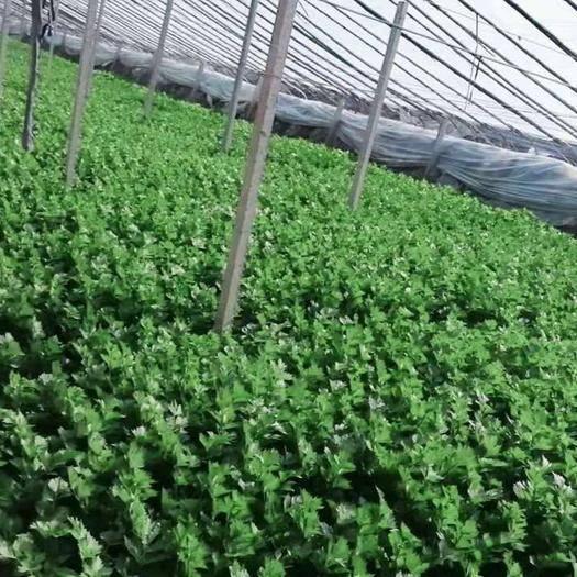 山東省菏澤市巨野縣 酵素芹菜即將成熟 歡迎看貨 采購