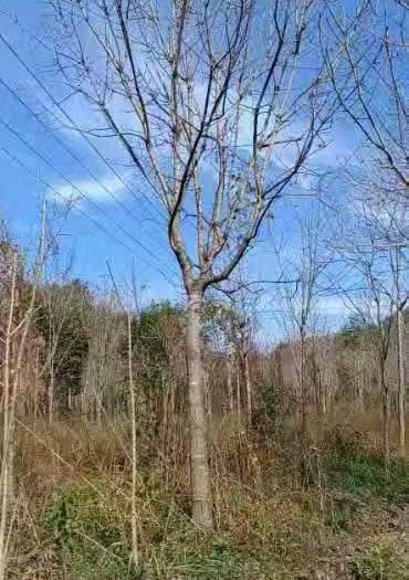陜西省西安市周至縣七葉樹