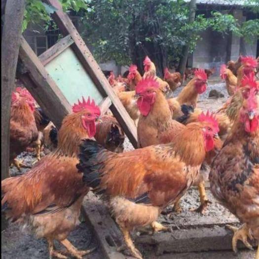 貴州省貴陽市開陽縣 k9雞苗  快大型   包疫苗和運輸