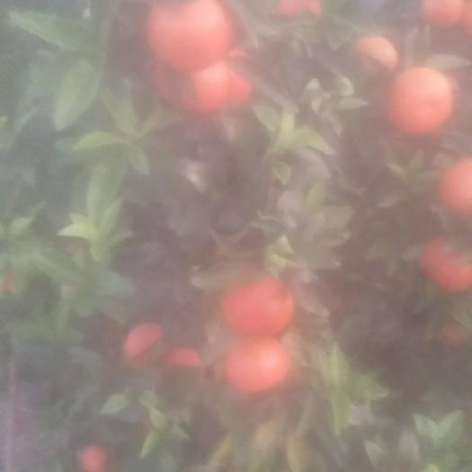 廣西壯族自治區桂林市靈川縣東方紅桔 東方紅橘青香橘