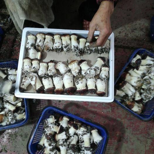 四川省成都市大邑縣大球蓋菇 鮮貨 人工種植 未開傘