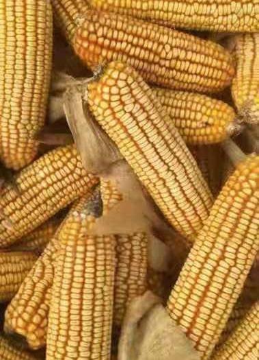 河北省保定市安新縣登海606 大量供應玉米棒,全國代發,全國收購,歡迎新老客戶咨詢合作