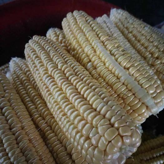 貴州省黔東南苗族侗族自治州麻江縣甜玉米 水果玉米