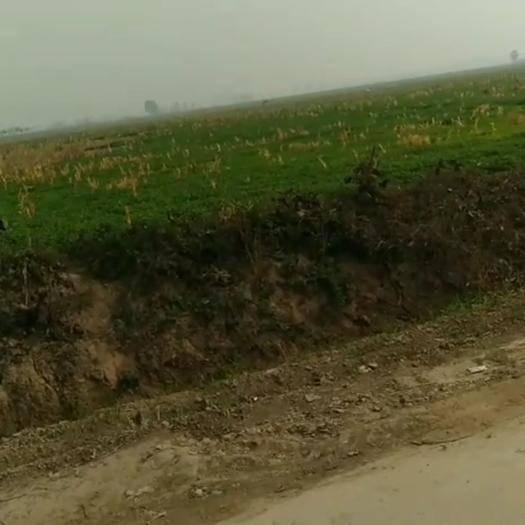 河南省開封市杞縣 鐵桿青香菜80畝,30公分
