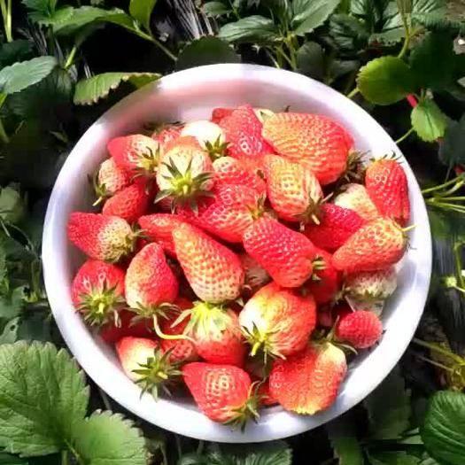 山東省濟南市歷城區 草莓價格下滑,歡迎采購。