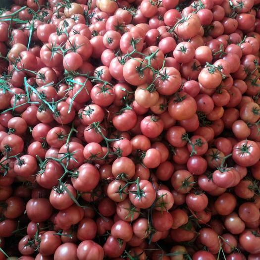 山東省臨沂市費縣 精品西紅柿,西紅柿我們只做精品。