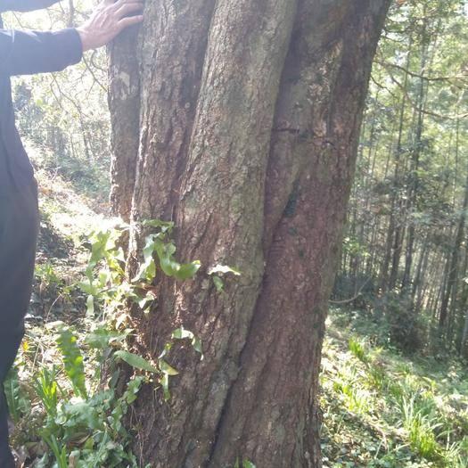 廣西壯族自治區桂林市臨桂區 七十多公分大桂花樹