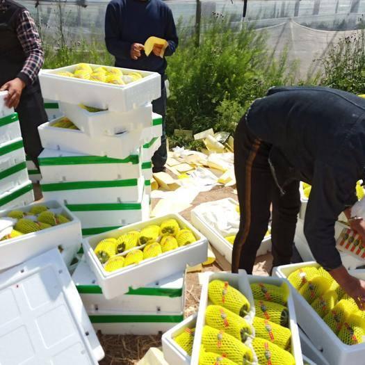山東省濰坊市壽光市 山東壽光博洋九號甜瓜2月份大量上市,種植面積大