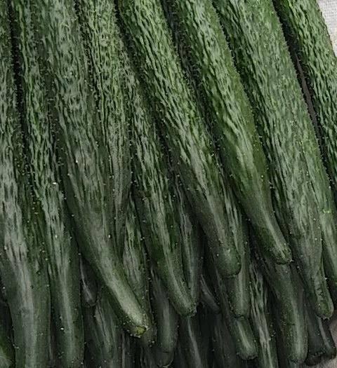 云南省紅河哈尼族彝族自治州紅河縣密刺黃瓜 35~45cm