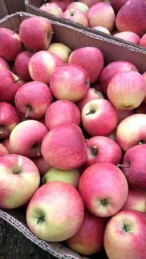 山西省晉中市祁縣丹霞蘋果 65mm以上 條紅 光果