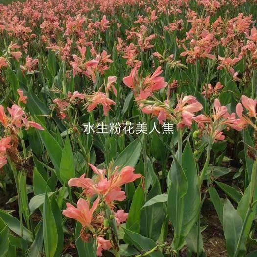 浙江省杭州市蕭山區 美人蕉
