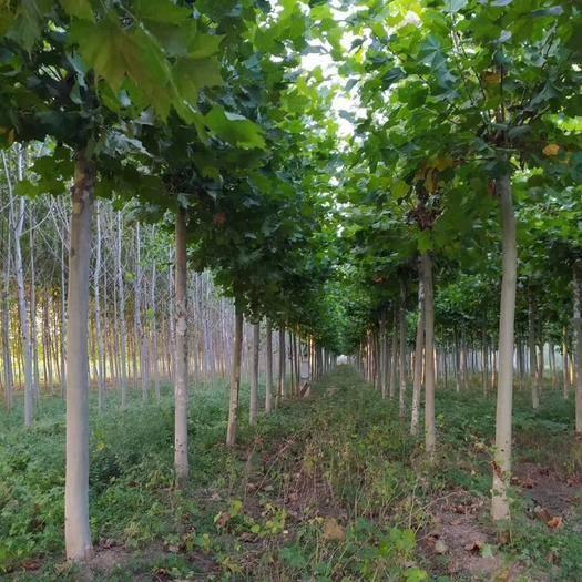 山东省泰安市岱岳区速生法桐 法桐树,规格齐全,欢迎实地考察指导