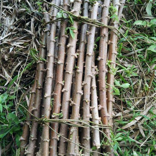 广西壮族自治区玉林市容县 苗 木薯种茎 木薯种苗子 红皮白肉面包木薯