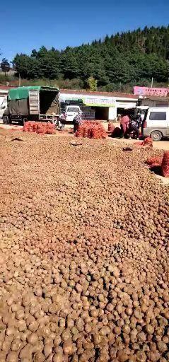 云南省曲靖市富源縣 大量出售花魔芋種子
