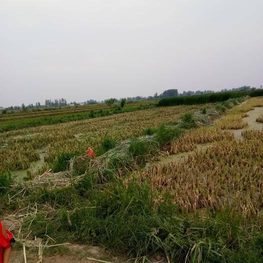 安徽省阜陽市潁上縣茭白種苗 提供技術支持