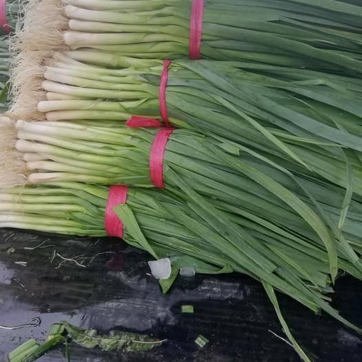 山東省臨沂市蘭陵縣 精品蒜苗,貨源充足質量保證