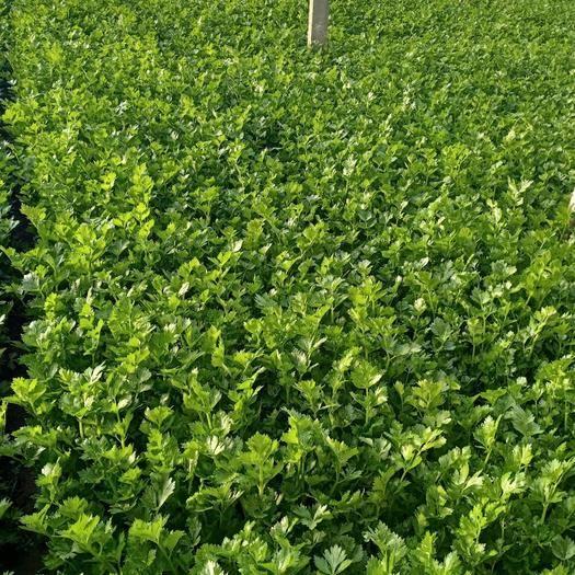 山東省臨沂市沂水縣 密植精品西芹,大量上市