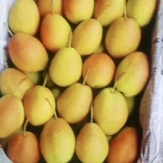 辽宁省葫芦岛市绥中县红香酥梨 货源充足价格美丽