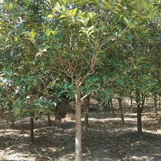 江西省九江市柴桑區 各種規格桂花樹,過得硬的質量,歡迎采購
